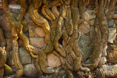 Roots on stone Royalty Free Stock Images