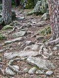 Roots and stones. Nice footpath, which runs through La Boca del Asno. Segovia. Spain Royalty Free Stock Photography