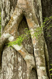 Roots of a strangler fig tightly grip a Florida cypress. Stock Images