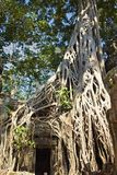 Roots Surround Doorway of Temple In Angkor Wat Temple royalty free stock image