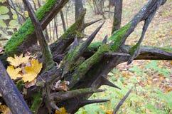 Roots täckte med mossa Arkivfoto