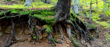 Roots on th road to Poiana Brasov Royalty Free Stock Photo