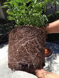 Roots of a tomato plant. These are the roots of one of my tomato plants as I was transplanting last year stock images