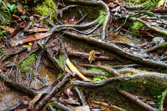 Roots on trail in Bako National Park Royalty Free Stock Images