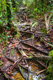 Roots on trail in Bako National Park Stock Images