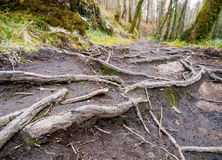 Roots on a trail in the forest Royalty Free Stock Photography