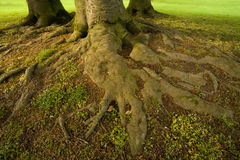 Roots of tree Royalty Free Stock Image