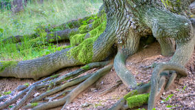 Roots of a tree stock photos