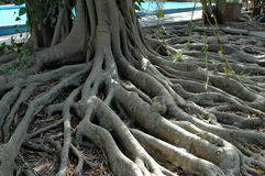 Roots of a tree Stock Photo