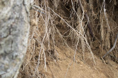The roots of the tree above the abyss in the sand Stock Image