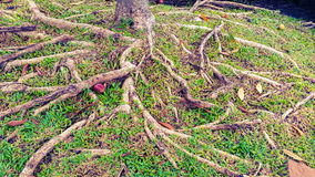 Roots of tree Stock Photo