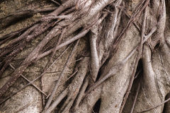 Roots of tree. Stock Photos