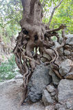 Roots Tree Agia Irini Gorge Canyon, Crete, Greece Stock Images