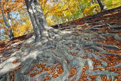 The roots of the tree - beech Royalty Free Stock Photography