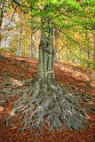 The roots of the tree - beech Stock Image