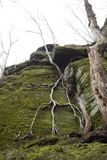 Roots of a tree climbing down Ritchie Ledges in Ohio. Branching roots of a small tree cascade down a green cliff face of the Ritchie Ledges in Cuyahoga Valley stock photos