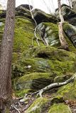 Roots of a tree climbing down Ritchie Ledges in Ohio. Branching roots of a small tree cascade down a green cliff face of the Ritchie Ledges in Cuyahoga Valley stock photography