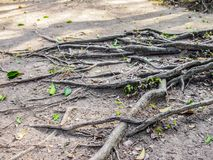Close up of roots of a tree between an arid ground and green leaves royalty free stock image