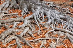 Roots of a tree in fall colors Royalty Free Stock Photo