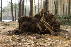 The roots of the tree felled by strong winds Royalty Free Stock Photography