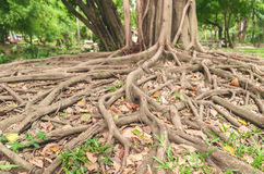 Roots of tree. Stock Images