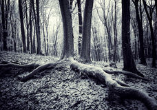 Roots of a tree in a forest. Roots of a tree in a dark forest with frost Stock Photo