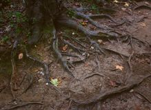 Roots of a tree in a forest of Cay, NC. Part of roots and bark in Cary, NC Royalty Free Stock Photos