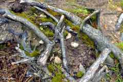 Roots of the tree in forest. Royalty Free Stock Image