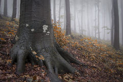 Roots of tree in a forest with fog in autumn Royalty Free Stock Photography