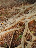 Roots. Tree Roots in  forest of Thailand Royalty Free Stock Image