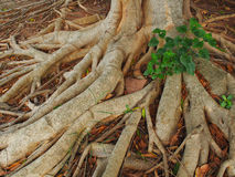 Roots. Tree Roots in  forest of Thailand Royalty Free Stock Photography