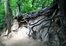 Roots of the tree Royalty Free Stock Photography