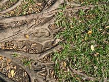 Roots of tree , green grass and dry leaves in the park Stock Photography