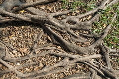 Roots of tree , green grass and dry leaves in the park Royalty Free Stock Photography