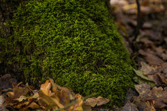 Roots of tree with green moss Royalty Free Stock Image
