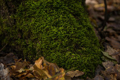 Roots of tree with green moss Royalty Free Stock Photography
