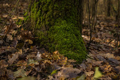 Roots of tree with green moss Stock Photography