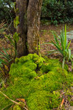 Roots of tree with green moss Royalty Free Stock Photo