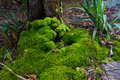 Roots of tree with green moss Royalty Free Stock Images