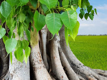 Roots of the tree on the ground. Royalty Free Stock Images