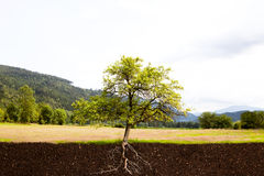 Roots. Tree with roots in a landscape stock image
