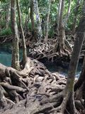 Roots in forest. Tree roots in the mangrove forest Stock Photography