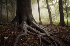 Roots of a tree in a misty forest Royalty Free Stock Photos