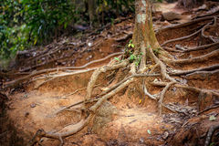 Roots of a tree in a misty forest Royalty Free Stock Images