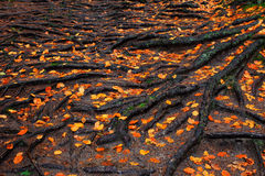 Roots of the tree with orange autumn leaves in the rainy forest Royalty Free Stock Images