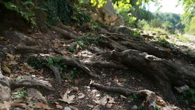 The roots of a tree outside. The roots of a old tree outside, panorama stock video