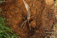 Roots of tree ready for planting into a hole. Royalty Free Stock Images