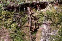 Roots , tree root - forest ground cross section royalty free stock photography