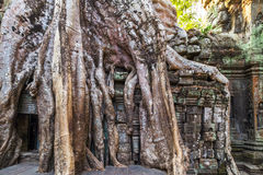 Roots tree in ruin Ta Prohm, Cambodia. Stock Images