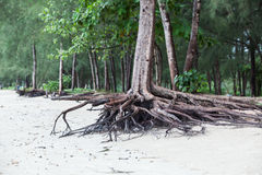 Roots of tree standing dead because erode by seawater. On the beach royalty free stock photos
